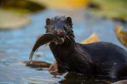 Записки астраханского натуралиста. Пушистый рыболов и охотник – норка американская