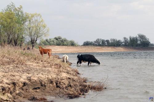 Водопой, коровы